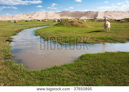 hongoryn els - oasis and dune with goats -Gobi - Mongolia