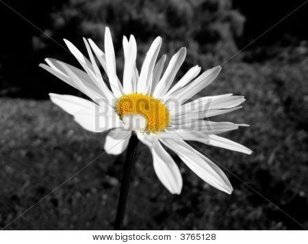 Black & White And Yellow Shasta Daisy