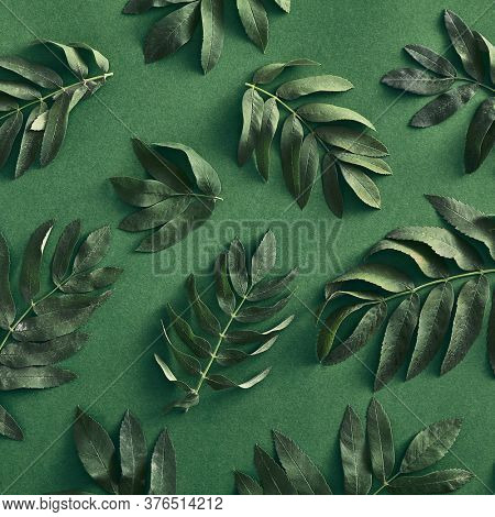 Branches leaves top view on green background. Forest sorbus green twigs flat lay. Fall botany concept. Tree branches composition. Botanical social media post, backdrop, wallpaper design