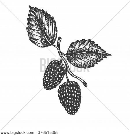 Mulberry Hand Drawn Vector. Sketch Of Fruit Vector Illustration. Berry In Vintage Style Design For M
