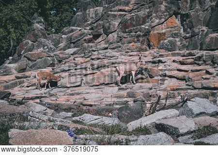 Mountain Goats Walk On The Natural Mountain Landscape. Berlin. Germany