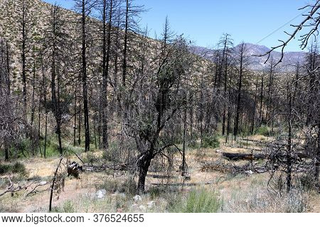 Charcoaled Landscape Including Burnt Pine Trees Caused From A Past Wildfire During A Prolonged Droug