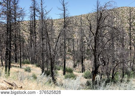 Charcoaled Landscape Including Burnt Pine Trees Caused From A Past Wildfire Surrounded By Parched Gr