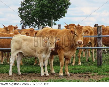 Beige Calf And Mother Standing In A Pasture Among Other Red Limousin Breed Calves. Ear Tag Info Remo