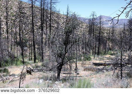 Charcoaled Landscape Including Burnt Pine Trees Caused From A Past Wildfire On An Arid Plateau Taken