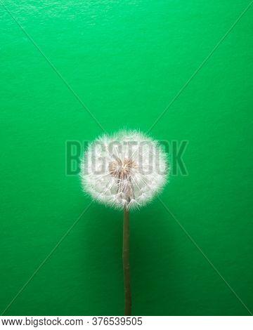 dandelion flower on green background