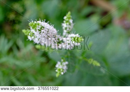 Fresh Mint With Flowers Against A Natural Green Background. High Quality Photo