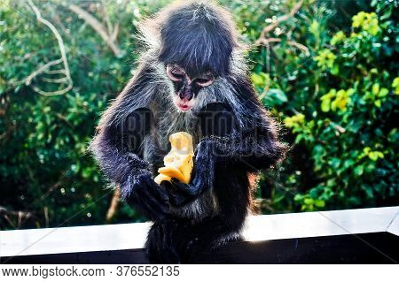A Young Spider Monkey Is Eating A Banana, Background Is Green Foliage. The Monkey Holds A Banana In