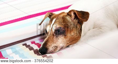 Sleepy Puppy Jack Russell Terrier With Brown And White Fur Lies On Coloured Striped Blanket In Bedro