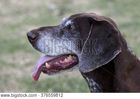 Outdoor Head Profile Portrait Of A Purebred And Pedigreed Female German Shorthaired Pointer Canine W