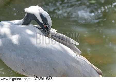 Beautiful Head Of A Grey Crane, In Sideview, Long White Hair At The Backside Of Head