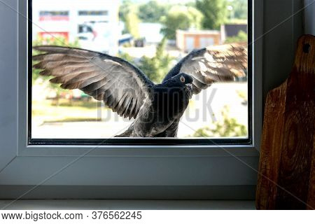 Pigeon Flew And Bump Up In Window In Kitchen Of A City Apartment In A Residential Building. Selectiv