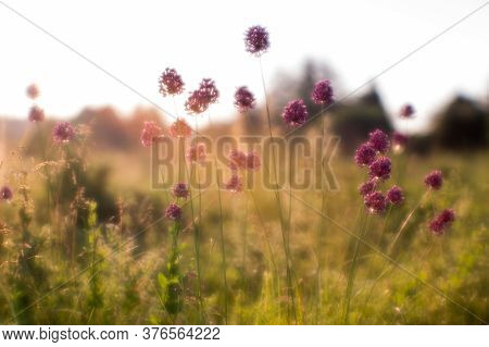 Blur. Summer Meadow With Wild Garlic Thickets In The Morning Sun. Natural Background. The Concept Of