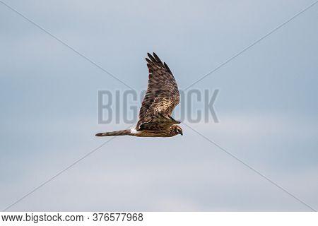 Hen Harrier Or Circus Cyaneus Wild Bird Flies In Blue Sky In Belarus. In Eurasia, Adult Male Is Some