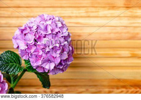 Purple Hydrangea On Background Of Wooden Fence. Hydrangea Macrophylla, Purple Hortensia Flower Bush