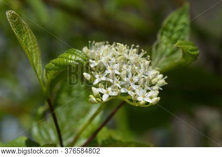 Siberian Dogwood - Latin Name - Cornus Alba Sibirica