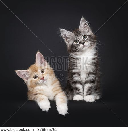 Duo Of Two Cute Maine Coon Kittens, Laying / Sitting Beside Eachother. Looking Beside Camera With Cu