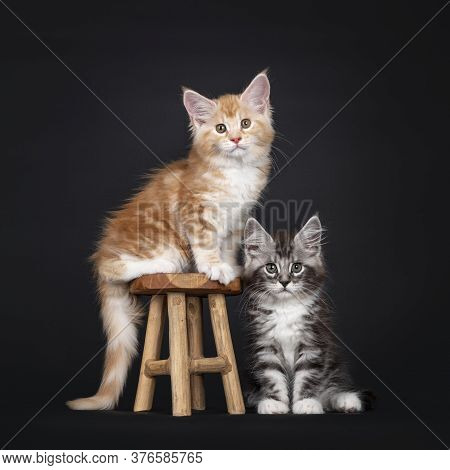 Duo Of Two Cute Maine Coon Kittens, Sitting On And Beside Little Wooden Stool. Looking Towards Camer