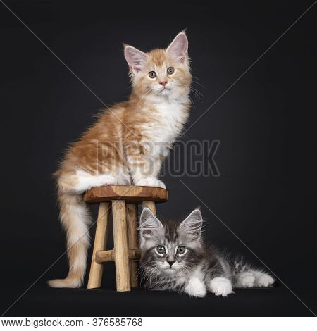 Duo Of Two Cute Maine Coon Kittens, Sitting On And Laying Beside Little Wooden Stool. Looking Toward