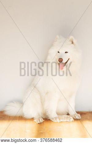 A Samoyed Dog With Its Tongue Hanging Out Is Sitting On The Floor On A Sunny Day. White Fluffy Dog.