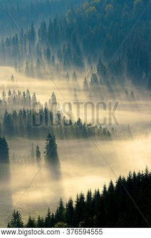 Mist Among The Forest. Spruce Trees In The Valley Full Of Glowing Fog. Fantastic Nature Scenery In M