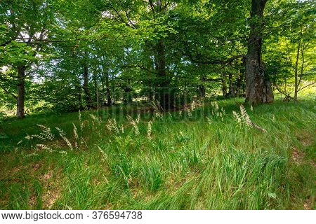 Beech Forest In Summer.  Trees In Lush Green Foliage. Beautiful Nature Scenery