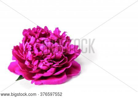 Purple Peony On A White Background. Floral Holiday Concept. Banner, Isolated, Greeting Card, Invitat