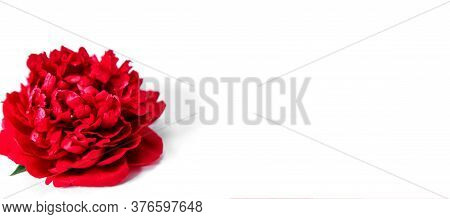 Red Peony On A White Background. Floral Holiday Concept. Banner, Isolated, Greeting Card, Invitation