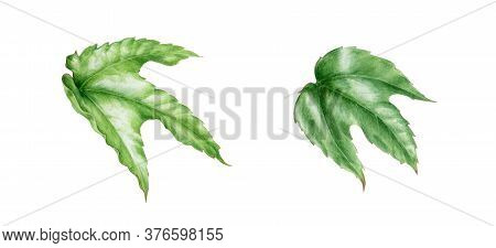 Green Ivy Leaves Watercolor Illustration Set. Hand Painted Close Up Single Elements Of A Botanical G