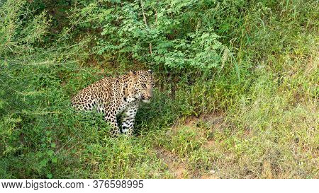 Wild Leopard Or Panther Or Panthera Pardus In Green Background At Jhalana Forest Or Leopard Reserve