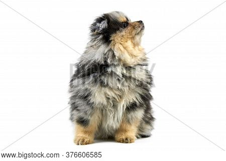 Pomeranian Puppy Spitz, Isolated. Cute Pomeranian Black And Tan Color, White Background. Family Frie
