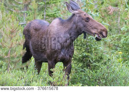 Colorado Moose Living In The Wild. Cow Moose Feeding In The Forest.