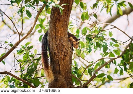 Goa, India. Indian Giant Squirrel, Or Malabar Giant Squirrel, Ratufa Indica Resting On Tree. It Is A