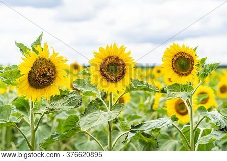 Beautiful Landscape With Yellow Sunflowers. Sunflower Field, Agriculture, Harvest Concept. Sunflower