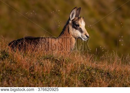 Little Tatra Chamois Laying Down In Mountains In Summer.