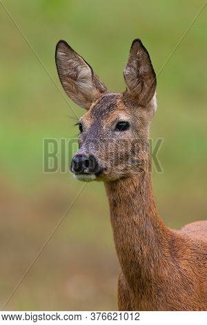 Roe Deer Doe Looking On Meadow In Summer Nature From Close Up.