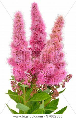 Bouquet Of Astilbe Flowers