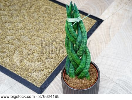 Sansevieria Is Cylindrical In The Shape Of A Pigtail. Life Style.