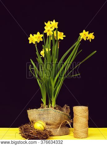 Narcissi In Spring Yellow Colour Growing In Pot With Sackcloth