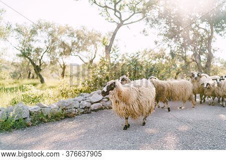 A Herd Of Unstricked Sheep Walks Along The Road In An Olive Grove.