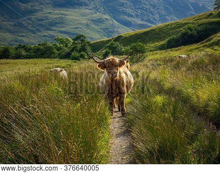 Highland Cow On A Footpath