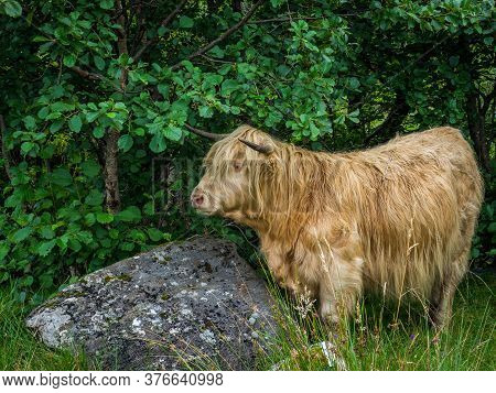 Highland Cows In Knoydart