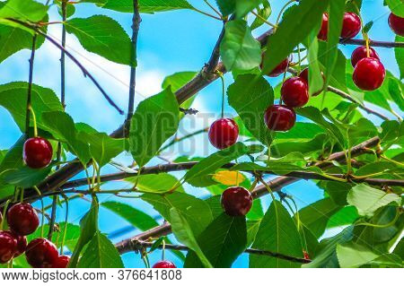 Branch Of Red Ripe Cherries On A Tree. Picking Berries. Close-up