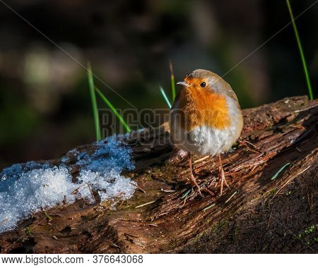 Robin Perched On A Snow Covered Log