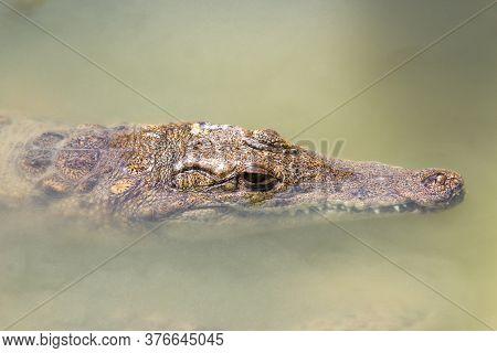 Crocodiles Head Close Up In Muddy Green Water