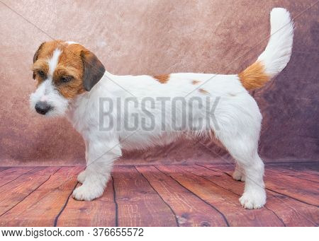 Jack Russell-terrier Dog Standing Sideways Exterior. Dog In The Rack. Prepared For A Dog Show.