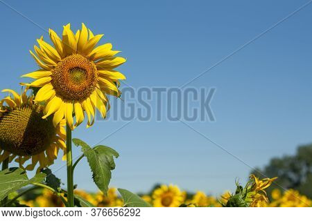 Sunflower Seeds. Sunflower Field, Growing Sunflower Oil Beautiful Landscape Of Yellow Flowers Of Sun