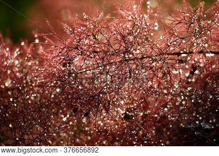 After A Rain Downy Runaways Cotinus Were Bent Under Weight Of Drops Of Water.
