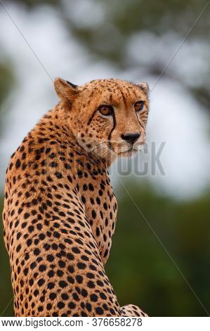 Portait Of A Cheetah Taken In Kruger National Park In South Africa
