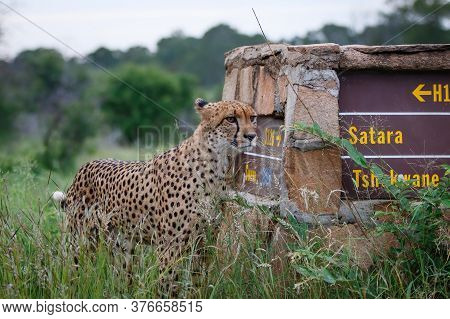 Cheetah Observing The Environment Next To A Sighpost In Kruger National Park In South Africa